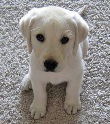 Louie the Labrador Retriever Pictures 939787
