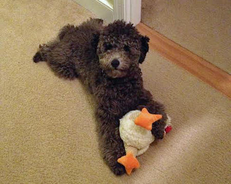 Louie the Miniature Poodle Pictures 1005423