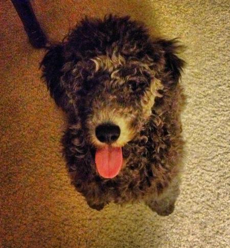 Louie the Miniature Poodle Pictures 1005424