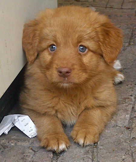 Loulou the Nova Scotia Duck Tolling Retriever Pictures 977691