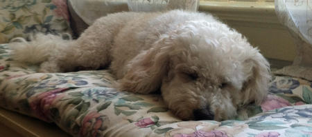 Lovebug the Bichon Mix Pictures 913928