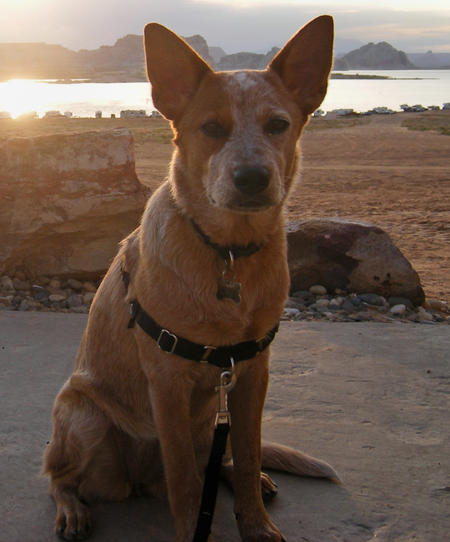 Lucille the Cattle Dog Pictures 478855