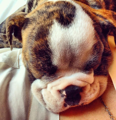 Lucille the English Bulldog Pictures 984264