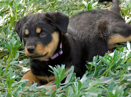 Lucille the Rottweiler Mix Pictures 569943
