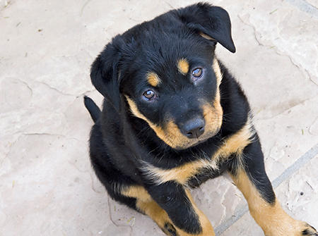 Lucille the Rottweiler Mix Pictures 569942