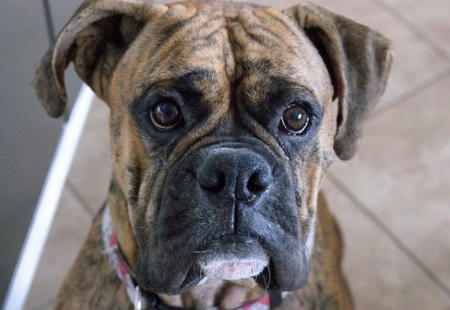 Lucky the Boxer Pictures 530030