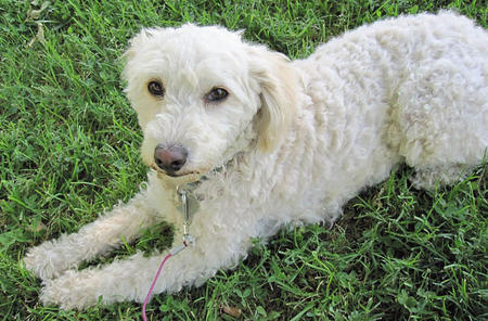 Lucky the Poodle Mix Pictures 625009
