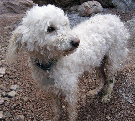 Lucky the Poodle Mix Pictures 625008