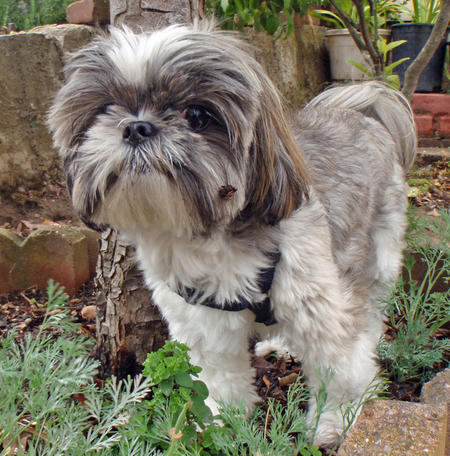 Lucky the Shih Tzu Pictures 649724