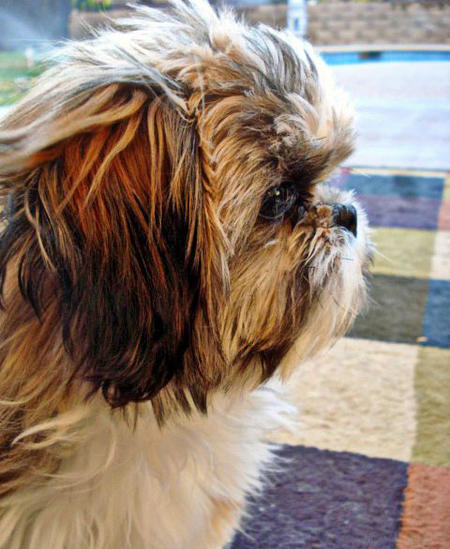 Lucky the Shih Tzu Pictures 649728