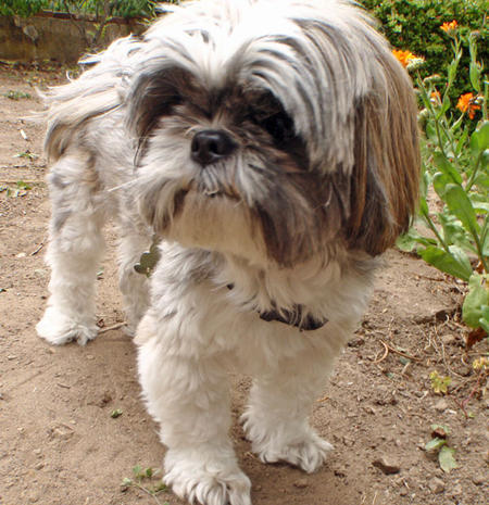Lucky the Shih Tzu Pictures 649722
