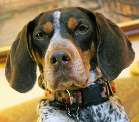 Lucy the Coonhound Mix Pictures 1037626