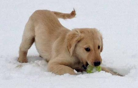 Lucy the Golden Retriever Pictures 936042
