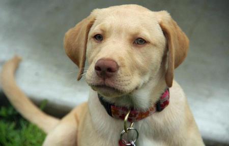 Lucy the Labrador Retriever Pictures 616310