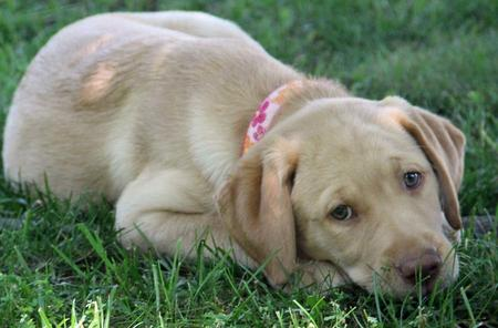 Lucy the Labrador Retriever Pictures 976868