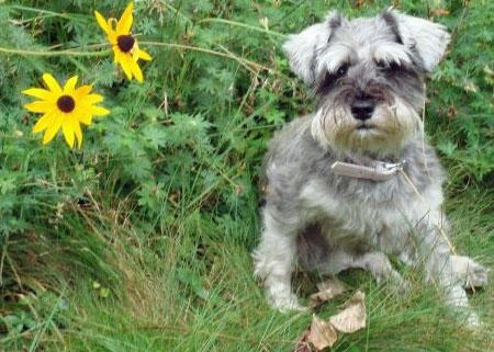 Lucy the Miniature Schnauzer Pictures 875713