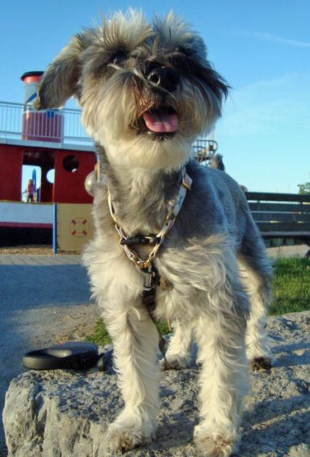 Lucy the Miniature Schnauzer Pictures 875715