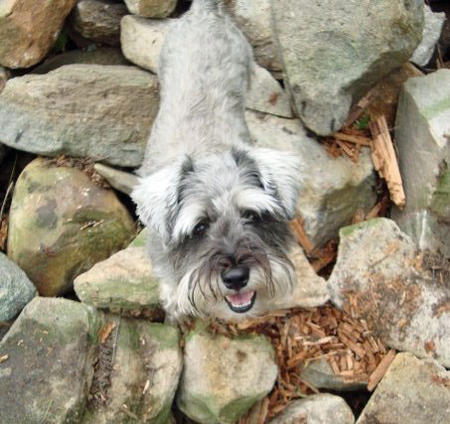 Lucy the Miniature Schnauzer Pictures 875716