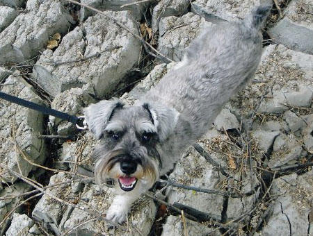 Lucy the Miniature Schnauzer Pictures 875717
