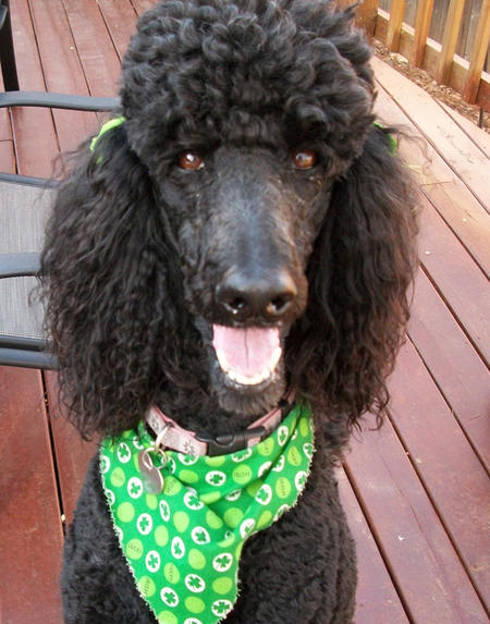 Lucy the Poodle Pictures 1054453