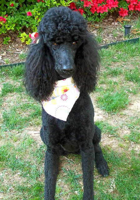 Lucy the Poodle Pictures 1054454