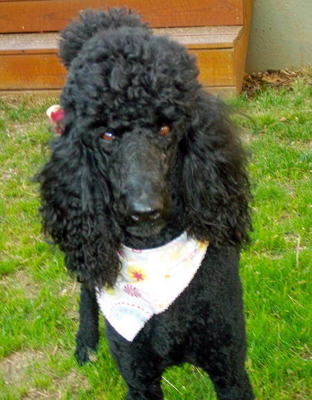 Lucy the Poodle Pictures 1054455