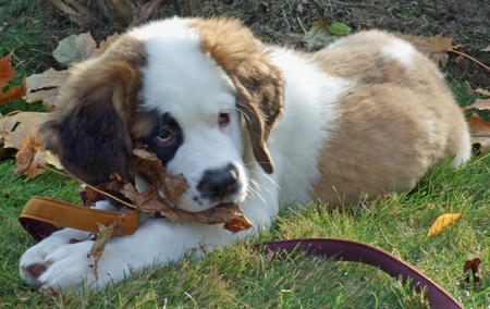 Lucy the Saint Bernard Pictures 490074