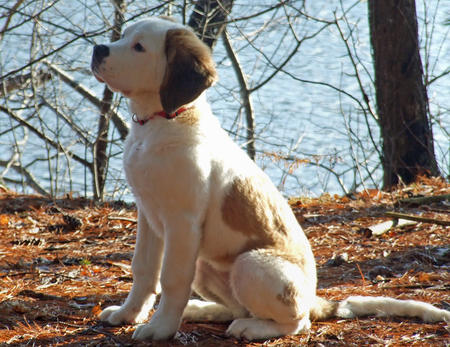Lucy the Saint Bernard Pictures 490076