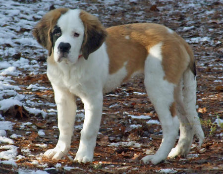 Lucy the Saint Bernard Pictures 490079