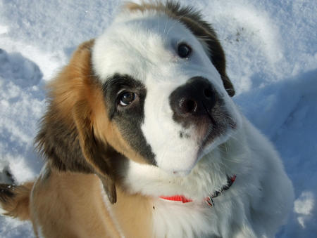 Lucy the Saint Bernard Pictures 490083