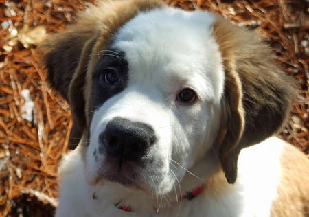 Lucy the Saint Bernard Pictures 490084
