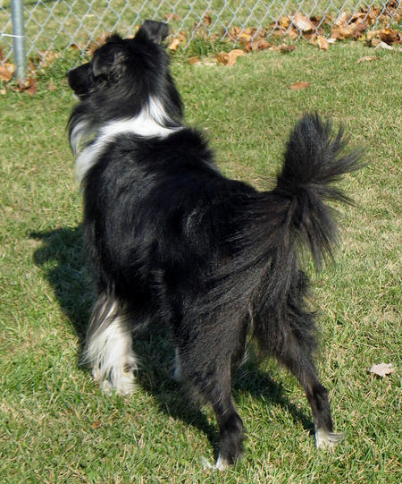 Lucy the Shetland Sheepdog Pictures 400833