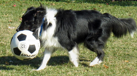 Lucy the Shetland Sheepdog Pictures 400839