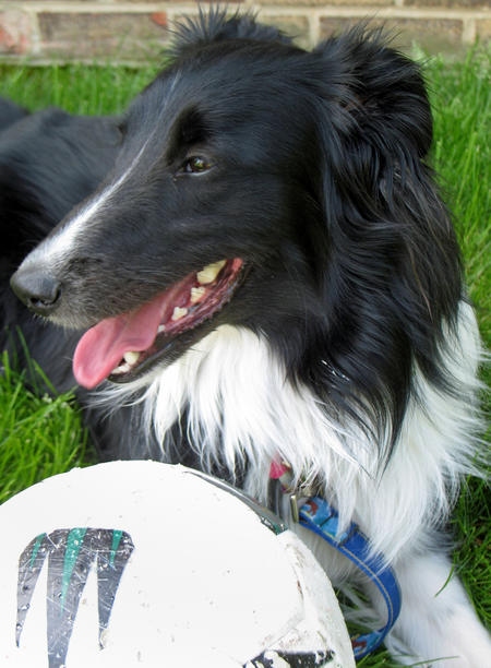 Lucy the Shetland Sheepdog Pictures 400832