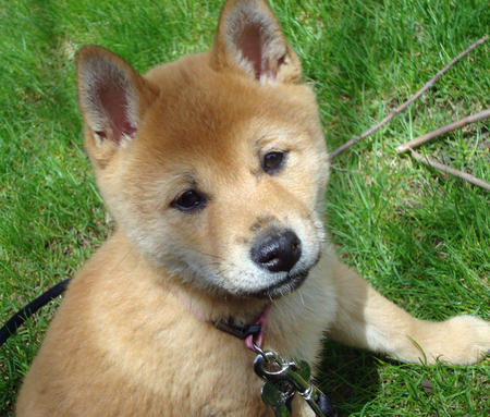 Lucy the Shiba Inu Pictures 808110