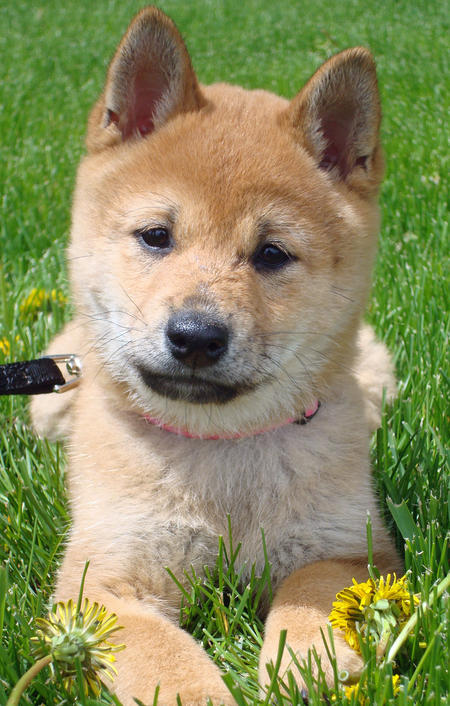 Artful Stew: Lucy the Shiba Inu Puppy - So Cute!