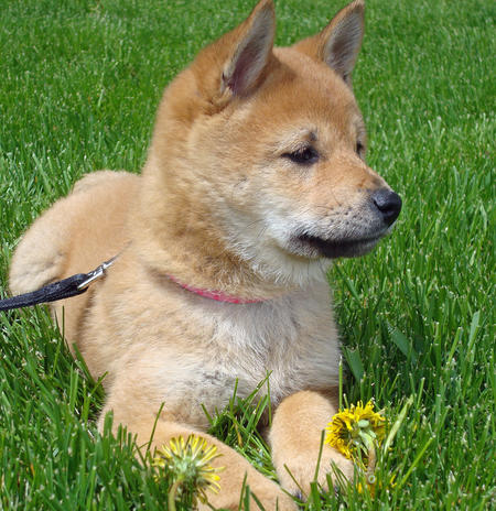 Lucy the Shiba Inu Pictures 808112