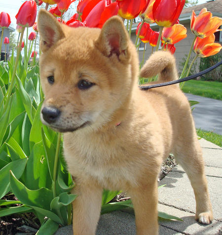 Lucy the Shiba Inu Pictures 808113