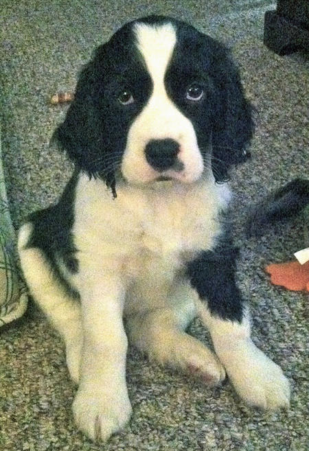 Lucy the Springer Spaniel Pictures 1017937