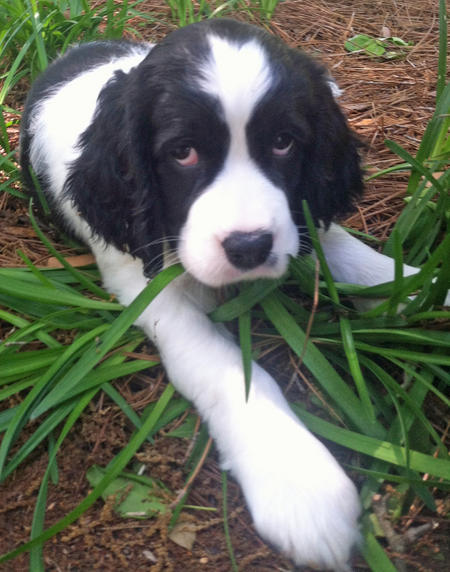 Lucy the Springer Spaniel Pictures 1017938