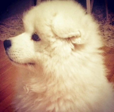Ludo the Samoyed  Pictures 1025552