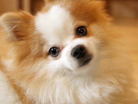 Luigi the Pomeranian Pictures 679087