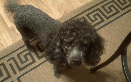 Luigi the Poodle Pictures 982947