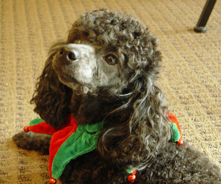 Luigi the Poodle Pictures 982948