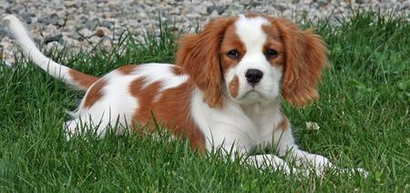 Luka the Cavalier King Charles Spaniel Pictures 826262