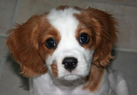Luka the Cavalier King Charles Spaniel Pictures 826263
