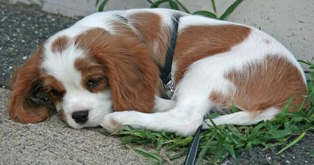 Luka the Cavalier King Charles Spaniel Pictures 826257