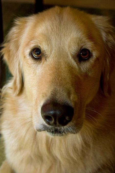 Luke the Golden Retriever Pictures 558058