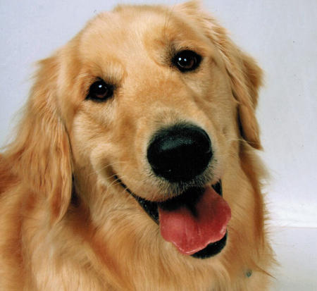 Luke the Golden Retriever Pictures 558054
