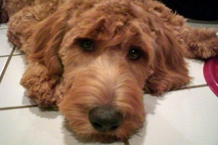 Luke the Goldendoodle Pictures 849879